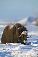 Bull Musk Ox on Alaska's snowy Arctic Coastal Plain.