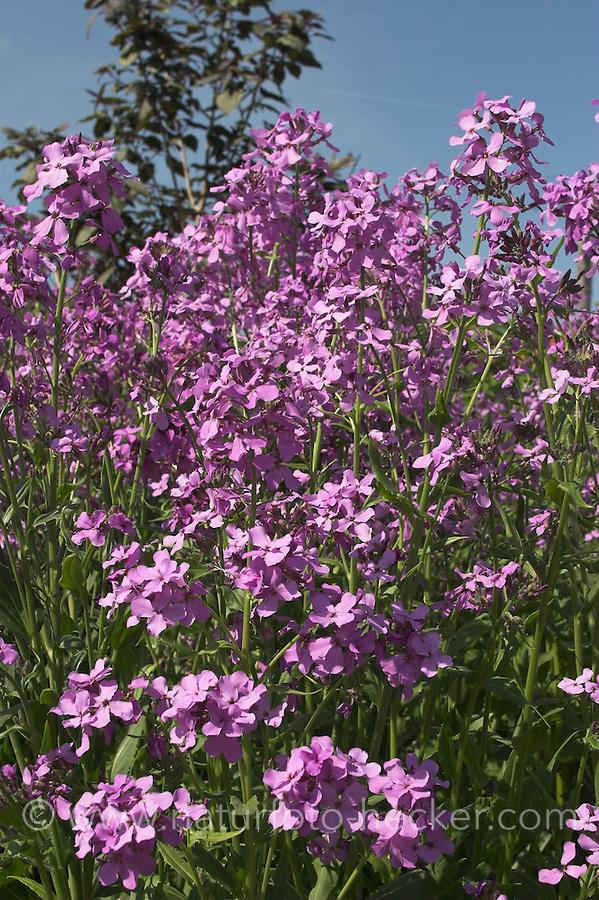 Gewöhnliche Nachtviole, Nacht-Viole, Matronenblume, Matronen-Blume, Hesperis matronalis, Dame´s Violet, Sweet Rocket, Julienne des dames