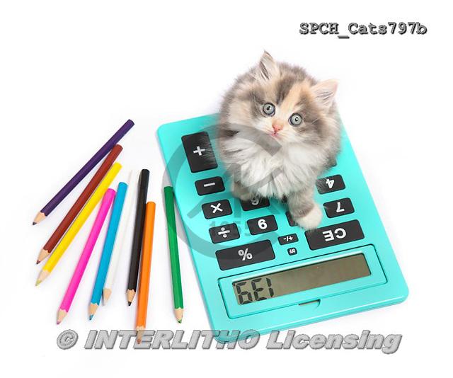 Xavier, ANIMALS, REALISTISCHE TIERE, ANIMALES REALISTICOS, cats, photos+++++,SPCHCATS797B,#a#