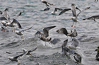 Gulls of Sevan Lake