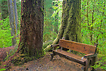 Olympic National Park, WA     <br /> Forest bench with large spruce trunks along the Hall of Mosses trail