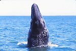 gray whale spy hops