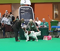 BNPS.co.uk (01202 558833)<br /> Pic: VeCallaghan/BNPS<br /> <br /> Ve with the pups mum 'Corranroo Coco At Laoirebay' (pet name Tamzin) at Crufts.<br /> <br /> Who would believe this adorable set of puppies belong to Britains's most endangered breed of dog.<br /> <br /> But this unusually large litter of ten healthy pups   offers fresh hope for Britain's most threatened native breed, the Red and White Setter.<br /> <br /> The alarming demise of the Irish breed has seen it plummet to the bottom of the Kennel Club's vulnerable breeds list for last year.<br /> <br /> In 2019 just 39 new puppies were registered, compared to 119 at the start of the decade.<br /> <br /> The numbers are tiny compared to the 35,347 Labradors - the UK's favourite dog - that were born last year. <br /> <br /> Now breeder Ve Callaghan from Melton Mowbray in Leicestershire is celebrating the arrival of a huge litter of ten pups that amazingly are rarer than Siberian Tigers, Amur Leopard's and even Giant Pandas.