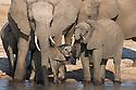 Zimbabwe, Hwange National Park, African elephant (Loxodonta africana) herd at  water hole