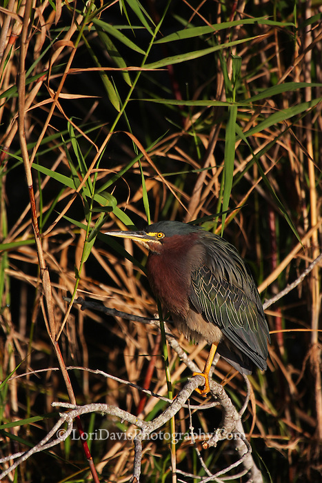 Green Heron Perched  #H23