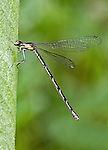An Aurora Damselfly.