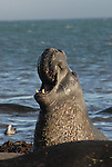 Pinnipeds by Frank Balthis