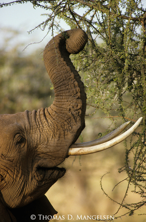 Close-up of a feeding African elephant in Kenya.
