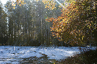 A shaft of sunlight penetrates Hedgemoor wood and illuminates the still golden leaves while, after a rare October snow fall, the ground is covered in snow. South East of Great Missenden, Buckinghamshire, England.