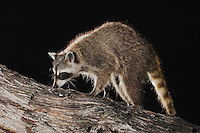 Northern Raccoon, Procyon lotor, adult at night on tree, Willacy County, Rio Grande Valley, Texas, USA, June 2006