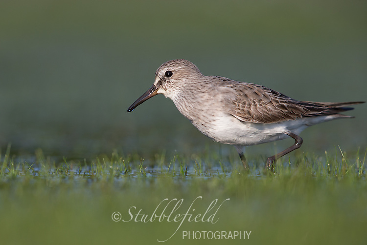 White-rumped Sandpiper (Calidris fuscicollis), adult molting into winter plumage foraging in the East Pond at Jamaica Bay Wildlife Refuge in New York City, New York.