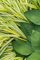 Hosta leaves and Flag Grass grow together in Central Park Bottanical Garden, New York.
