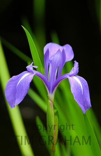 Blue iris flower, England