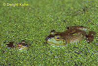 FR01-007z  Bullfrog - two adults in duckweed pond - Lithobates catesbeiana, formerly Rana catesbeiana