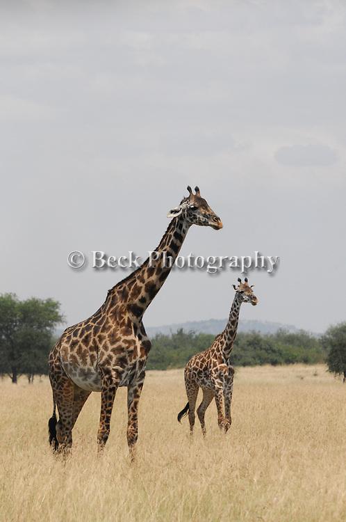 Giraffes from the Maasai, Africa