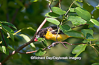 01611-074.20 Baltimore Oriole (Icterus galbula) female eating Shadblow Serviceberry (Amelanchier canadensis) Marion Co. IL