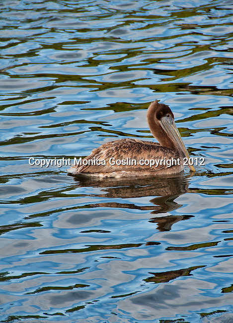 A pelican in the water at sunset at Tarpon Springs, Florida