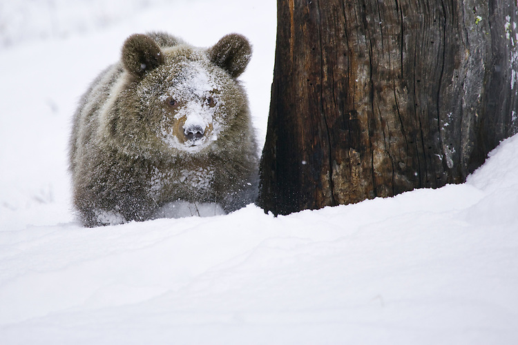Young Grizzly standing in the snow - CA