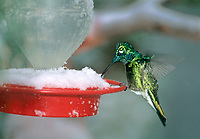 549801081 a wild male broad-billed hummingbird cynanthus latrostis feeds at a snow covered nectar feeder during a spring snowstorm in the mountains of southern arizona