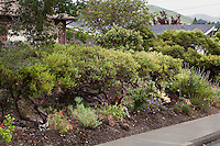 Evergreen shrub hedge, Vine Hill Manzanita, Arctostaphylos densiflora by sidewalk in Kyte California native plant drought tolerant front yard garden