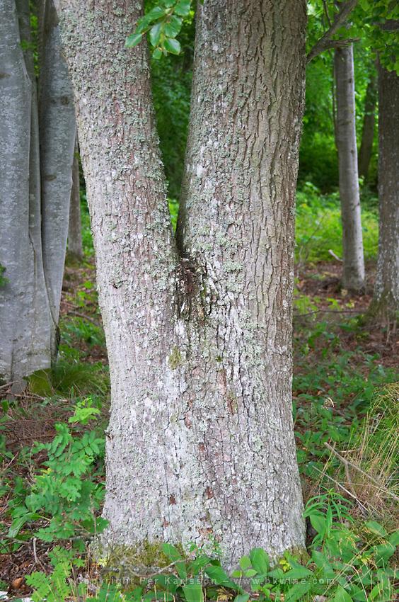 Tree trunk of an oak. Seen upside down it looks like a torso with legs. Smaland region. Sweden, Europe.