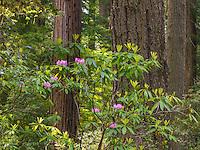 Redwood & Rhododendron III