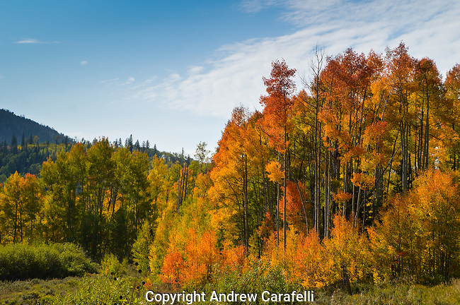 Aspens begin their fall color change in the high country of Colorado.
