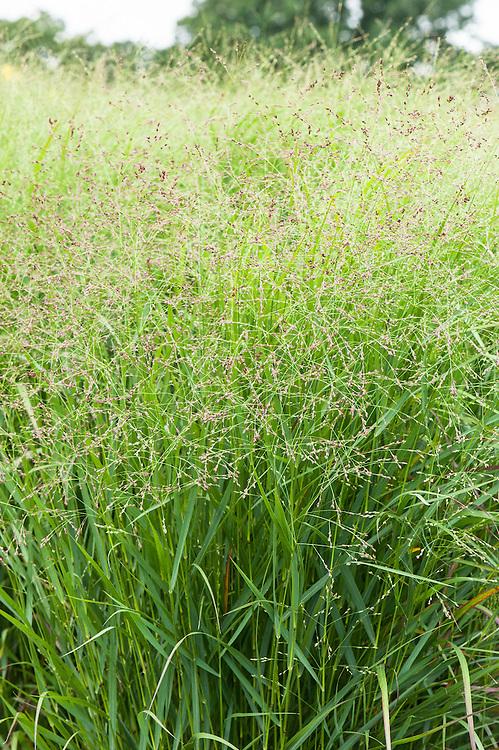 Panicum virgatum 'Rehbraun', late August. Sometimes known as Switch grass, Brown deer switch grass, or Wand panic grass.