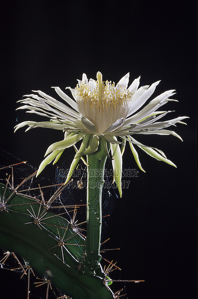 Night-Blooming Cereus, Peniocereus greggii, blossom at night, Cameron County, Rio Grande Valley, Texas, USA