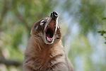 Coati yawning