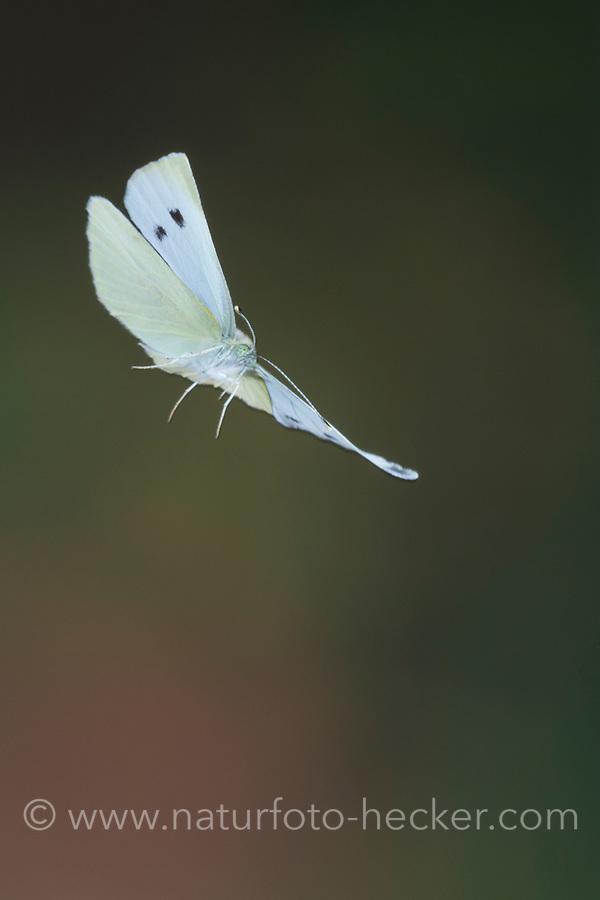 Großer Kohlweißling, im Flug, fliegend, Kohlweißling, Kohl-Weißling, Pieris brassicae, Grosser Kohlweissling, large white, Cabbage Butterfly, Cabbage White, Large Cabbage White, White cabbage butterfly, cabbage butterfly, flying, flight, La Piéride du chou