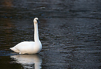A trumpeter swan hangs out in the Madison River.