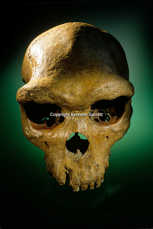 Archaic Homo sapiens or Homo rhodesiensis skull, Kabwe or Broken Hill skull, fossil, Zambia
