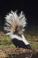 Striped Skunk, Mephitis mephitis, adult at night drinking, Uvalde County, Hill Country, Texas, USA