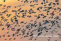00754-02812 Snow Geese (Anser caerulescens) in flight at sunset Marion Co. IL