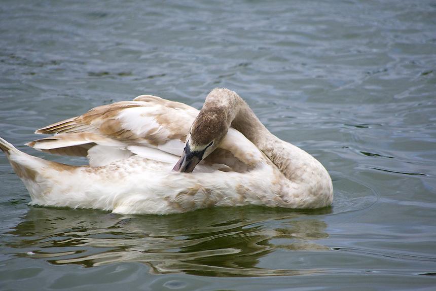 Mute swan, Morton Lake, Lakeland, Florida