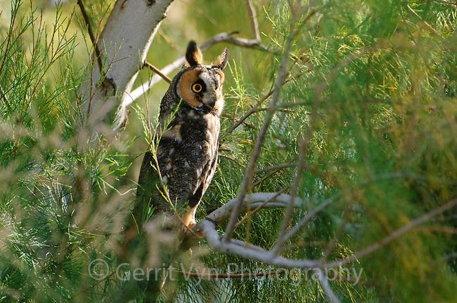 Adult Long-eared Owl (Asio otus) roosting in salt cedar (Tamarix spp.). Monterey County, California. October.