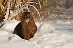 American Mink (Neovison vison) in snow, Sax-Zim Bog, northern Minnesota
