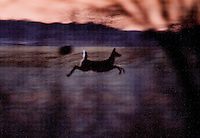 A white tail deer sprints during a hunting trip in Superior, Nebraska, Friday, December 2, 2011...Photo by Matt Nager