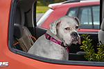 American bulldog in car window.