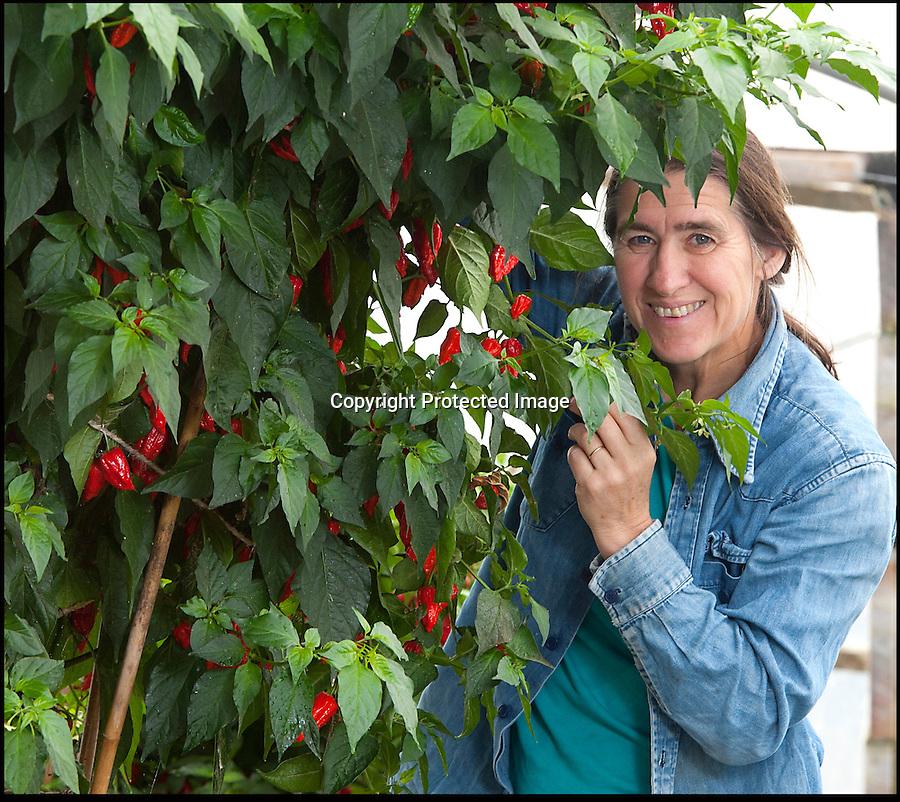 BNPS.co.uk (01202 558833)<br /> LauraJones/BNPS<br /> <br /> Red hot record...<br /> <br /> Tree of fire turns into pot of gold - Dorset Chilli farmer Joy Michaud is hoping she has set a new world record after collecting an astonshing 2407 chilli's from one bush at the weekend.<br /> <br /> Joy Michaud with the Dorset Naga chilli tree. <br /> <br /> Its been a bumper year for chilli's and farmer Joy Michaud has grown a 'tree of fire' with over two thousand of the worlds hottest on it.<br /> <br /> The average chilli 's heat is measured at 30,000 scovell's but the legendary Dorset Naga has been measured at 1.2 million scovel's.<br /> <br /> With that in mind great care has to be taken when handling the explosive crop.<br /> <br /> Joy said 'growing conditions have been perfect this year and  I have never seen a chilli tree this big before, its astonishing.'