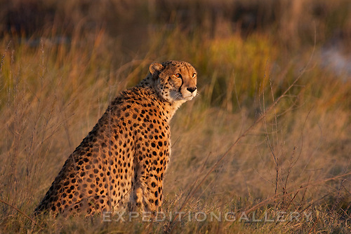 Cheetah, Okavango Delta, Botswana, Africa. (This species is found in many African countries including South Africa, Botswana, Zambia, Zimbabwe, Namibia, Tanzania, Kenya)