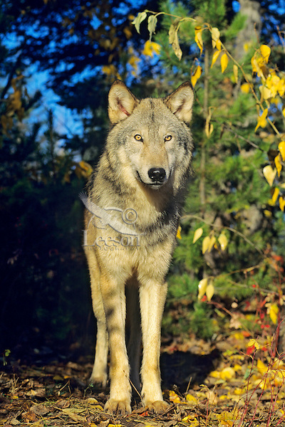 Gray Wolf (Canis lupus) in fall.