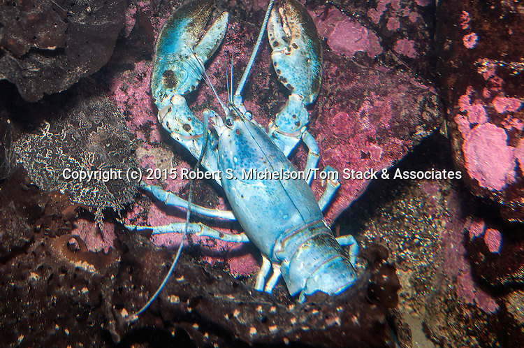 American lobster blue color phase.  Blue lobsters only occur once every 2 million lobsters.