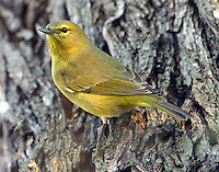 Adult orange-crowned warbler, a very bright specimen