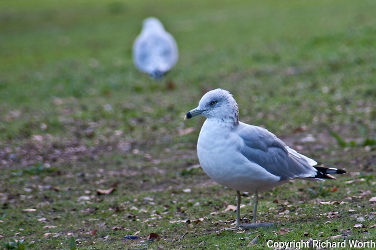 Lake Merritt and its bird refuge in Oakland is home, even if temporarily, to a wide variety of birds including this Ring billed gull.