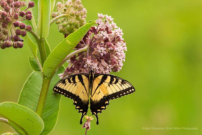 Eastern Tiger Swallowtail (Papilio glaucus) on milkweed.  Taken at Alma, IL.  fill flash used