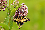 Eastern Tiger Swallowtail (Papilio glaucus) on milkweed.  Taken at Alma, IL.  fill flash used