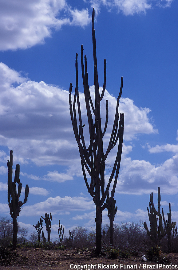 The mandacaru cactus ( Cereus jamacaru ), common in northeastern Brazil, reaches to more than 5 meters tall and is very resistant to drought.