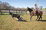 Joey Guidi falls from the calf he was riding during calf marking and branding at the Stoney Creek Corrals of the Busi Ranch, Amador County, Calif.